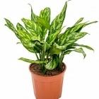 Аглаонема maria tuft Диаметр горшка — 17 см Высота растения — 45 см