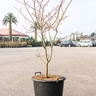 Клён japonicum aconitifolium стебель Диаметр горшка — 50 см Высота растения — 150 см