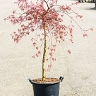 Клён palmatum inaba shidare стебель (150-170) Диаметр горшка — 35 см Высота растения — 160 см