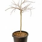 Клён palmatum tamukeyama стебель Диаметр горшка — 45 см Высота растения — 125 см