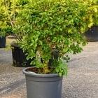 Бугенвиллея (120-150) branched (без цветов) Диаметр горшка — 45 см Высота растения — 125 см