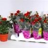 Роза Патио красная Аморе
