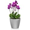 Орхидея Фаленопсис + CLASSICO LS 21