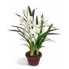 Орхидея Цимбидиум белая малая в кашпо