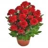 Хризантема красная Тобаго