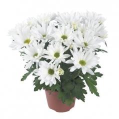 Хризантема Бриз белая