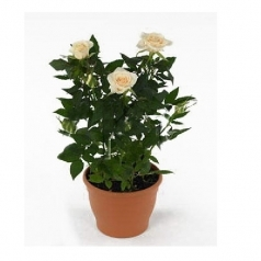 Роза Кордана белая Фрея