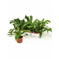 Аглаоморфа coronans 1 Диаметр горшка — 8.5 см Высота растения — 25 см