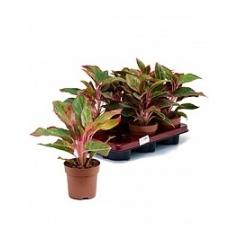 Аглаонема crete tuft Диаметр горшка — 12 см Высота растения — 25 см