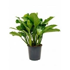 Аглаонема freedman tuft Диаметр горшка — 24 см Высота растения — 90 см