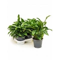 Аглаонема maria tuft Диаметр горшка — 17 см Высота растения — 40 см