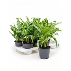 Аглаонема silver queen compact Диаметр горшка — 14 см Высота растения — 35 см