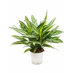 Аглаонема silver queen tuft Диаметр горшка — 17 см Высота растения — 55 см