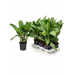 Аглаонема stripes tuft Диаметр горшка — 17 см Высота растения — 60 см