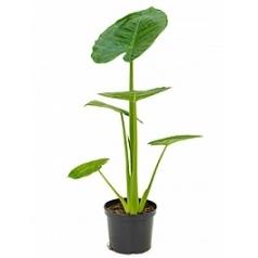 Алоказия  calidora tuft Диаметр горшка — 24 см Высота растения — 85 см
