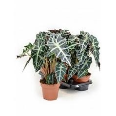 Алоказия  polly Диаметр горшка — 17 см Высота растения — 50 см