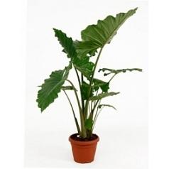 Алоказия  portadora tuft Диаметр горшка — 35 см Высота растения — 130 см
