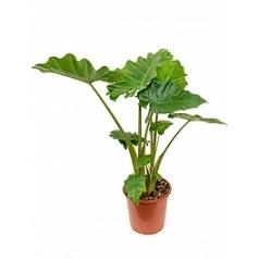 Алоказия  portadora tuft Диаметр горшка — 24 см Высота растения — 80 см