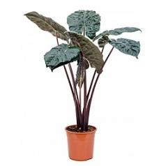 Алоказия  yucatan princess bush Диаметр горшка — 27 см Высота растения — 125 см