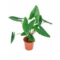 Алоказия  zebrina tuft 2pp Диаметр горшка — 24 см Высота растения — 90 см