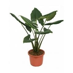 Алоказия  zebrina tuft 2pp Диаметр горшка — 32 см Высота растения — 120 см
