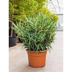 Алоэ arborescens bush Диаметр горшка — 45 см Высота растения — 110 см