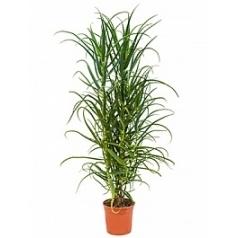 Алоэ arborescens bush Диаметр горшка — 25 см Высота растения — 160 см