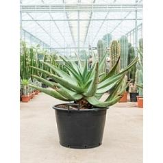 Алоэ ferox bush Диаметр горшка — 50 см Высота растения — 120 см