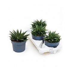 Алоэ flow 3/tray Диаметр горшка — 17 см Высота растения — 25 см