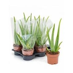Алоэ vera Диаметр горшка — 12 см Высота растения — 30 см