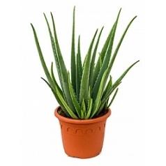 Алоэ vera Диаметр горшка — 35 см Высота растения — 80 см