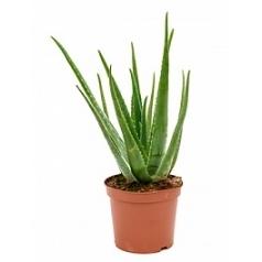 Алоэ vera Диаметр горшка — 25 см Высота растения — 80 см