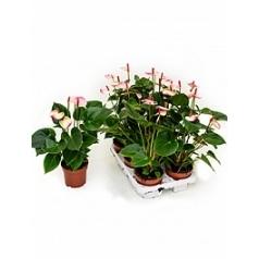 Антуриум amalia elegance white/pink Диаметр горшка — 12 см Высота растения — 45 см