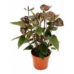 Антуриум black black Диаметр горшка — 12 см Высота растения — 35 см