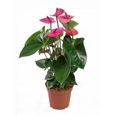 Антуриум cavalli violett Диаметр горшка — 17 см Высота растения — 60 см