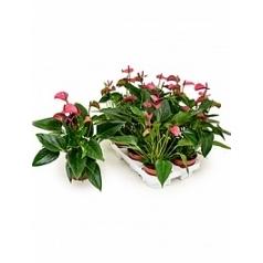 Антуриум cirano lilac Диаметр горшка — 12 см Высота растения — 40 см