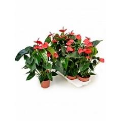Антуриум dark red dark red Диаметр горшка — 17 см Высота растения — 60 см