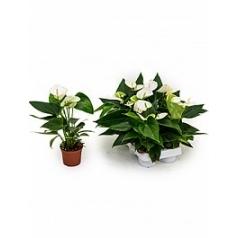 Антуриум elido white Диаметр горшка — 9 см Высота растения — 30 см