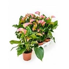 Антуриум joli pink Диаметр горшка — 12 см Высота растения — 35 см