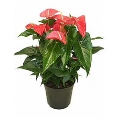 Антуриум maine pink Диаметр горшка — 27 см Высота растения — 65 см