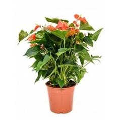 Антуриум matiz orange Диаметр горшка — 27 см Высота растения — 60 см