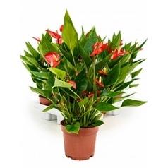 Антуриум million flower red Диаметр горшка — 12 см Высота растения — 35 см