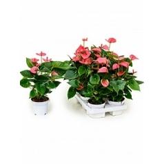 Антуриум pink champion pink Диаметр горшка — 12 см Высота растения — 40 см