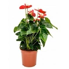Антуриум sierra red Диаметр горшка — 27 см Высота растения — 70 см