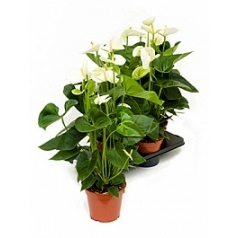 Антуриум sierra white white Диаметр горшка — 17 см Высота растения — 65 см