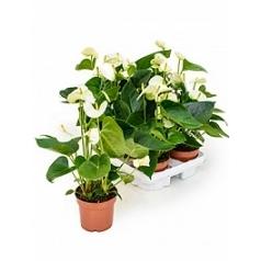Антуриум sierra white white Диаметр горшка — 12 см Высота растения — 40 см