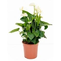 Антуриум sumi white Диаметр горшка — 27 см Высота растения — 75 см