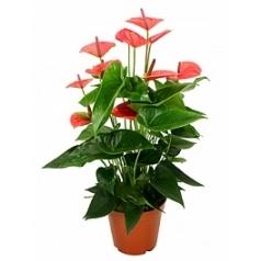 Антуриум sweetdream pink Диаметр горшка — 17 см Высота растения — 60 см