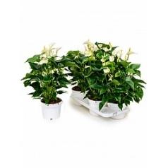 Антуриум white champion white Диаметр горшка — 17 см Высота растения — 55 см