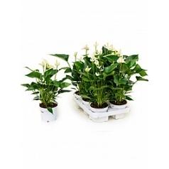 Антуриум white champion white Диаметр горшка — 12 см Высота растения — 40 см